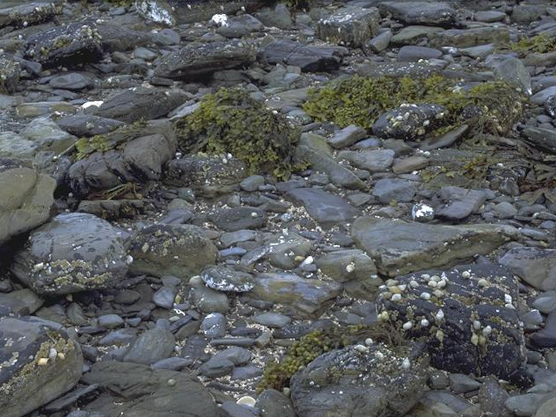 Fucus vesiculosus and barnacle mosaics on moderately exposed mid eulittoral rock