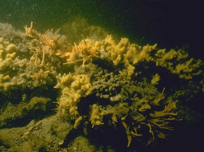 Cushion sponges and hydroids on turbid tide-swept sheltered circalittoral rock