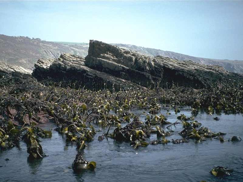 Kelp forest exposed at low tide with rocky shore in background.