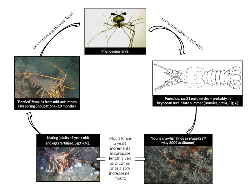 The life cycle of the European spiny lobster from larvae to adult