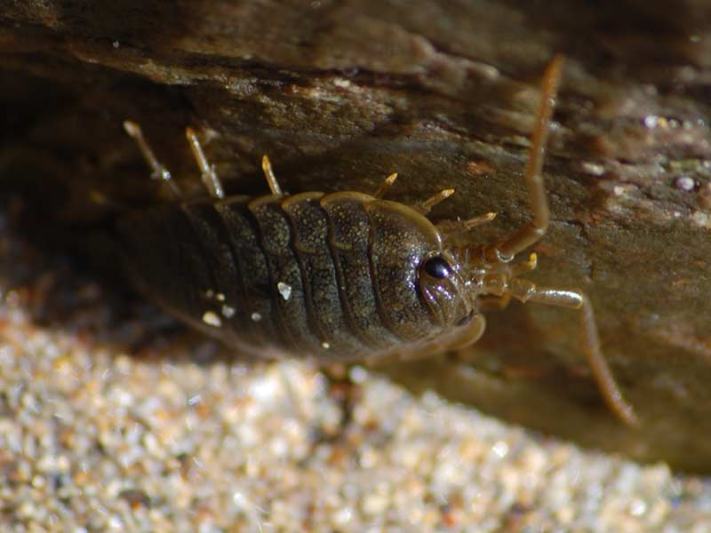 A sea slater emerging from a rock.