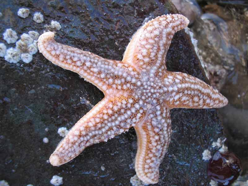 Marlin The Marine Life Information Network Common Starfish