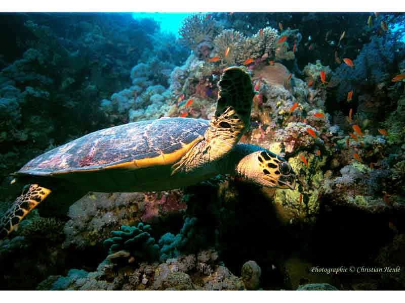 Hawksbill turtle swimming over a reef in the Red Sea.