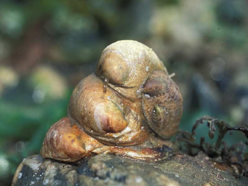 Resultado de imagem para Crepidula fornicata