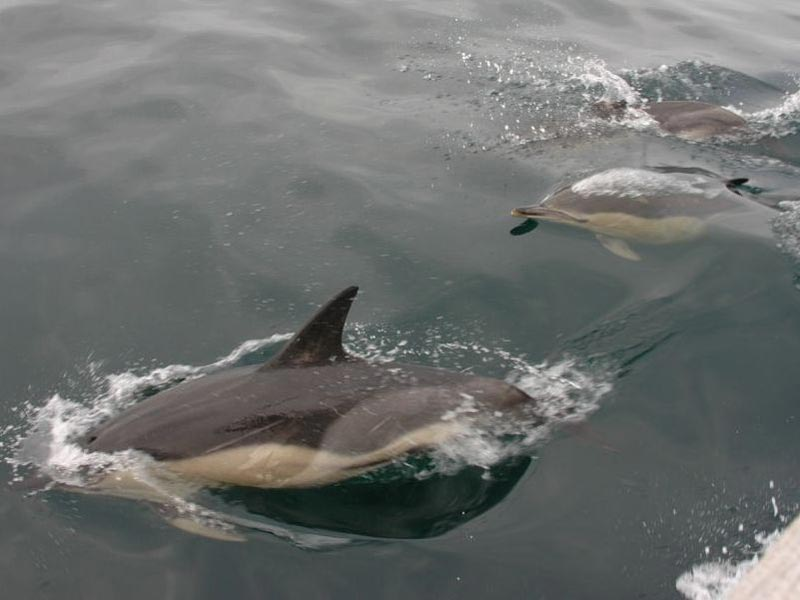 Three common dolphins leaping out of the water.