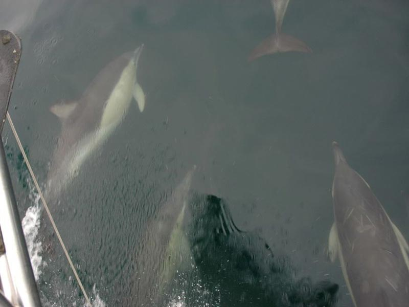 Common dolphins swimming in front of a sailing vessel.