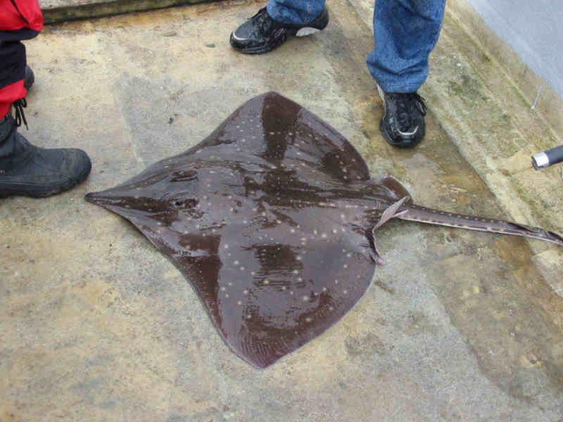 MarLIN - The Marine Life Information Network - Common Skate (Dipturus ...