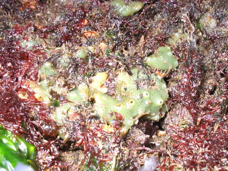 Encrusting Halichondria (Halichondria) panicea surrounded by red seaweed.
