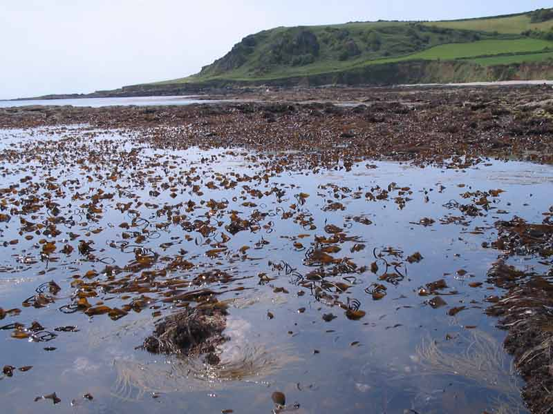 Vast Laminaria digitata patch at low tide.