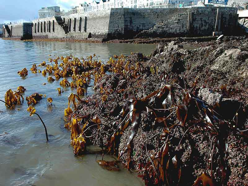 Laminaria digitata (foreground) and Laminaria ochroleuca (background) at West Hoe, Plymouth.