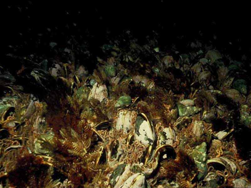 Horse mussel bed with hydroids and red seaweed, Linga Sound, Shetland.