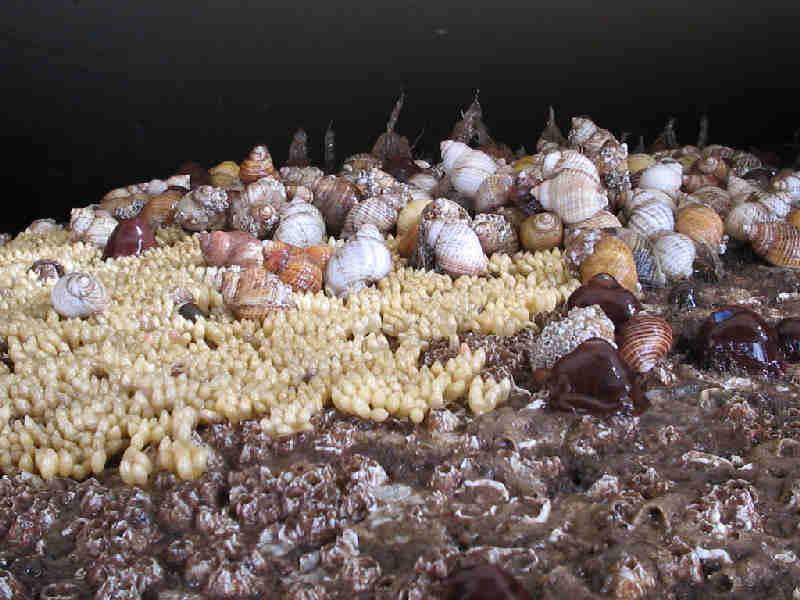 MarLIN - The Marine Life Information Network - Dog whelk (Nucella
