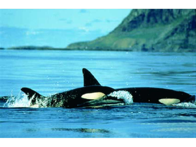 MarLIN - The Marine Life Information Network - Killer whale ...