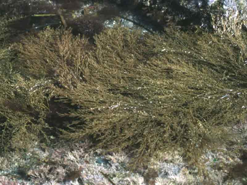 Wire weed on a rocky substrate.