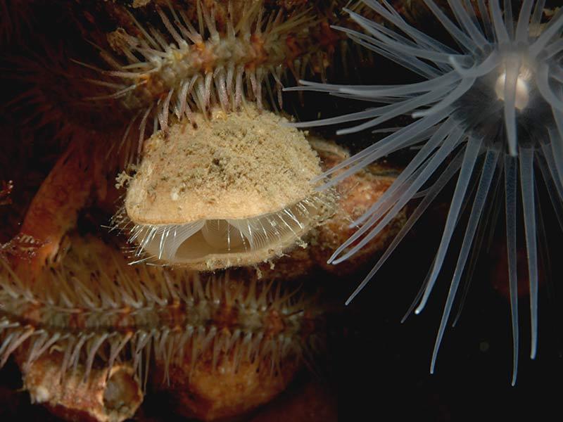 marlin the marine life information network a brachiopod