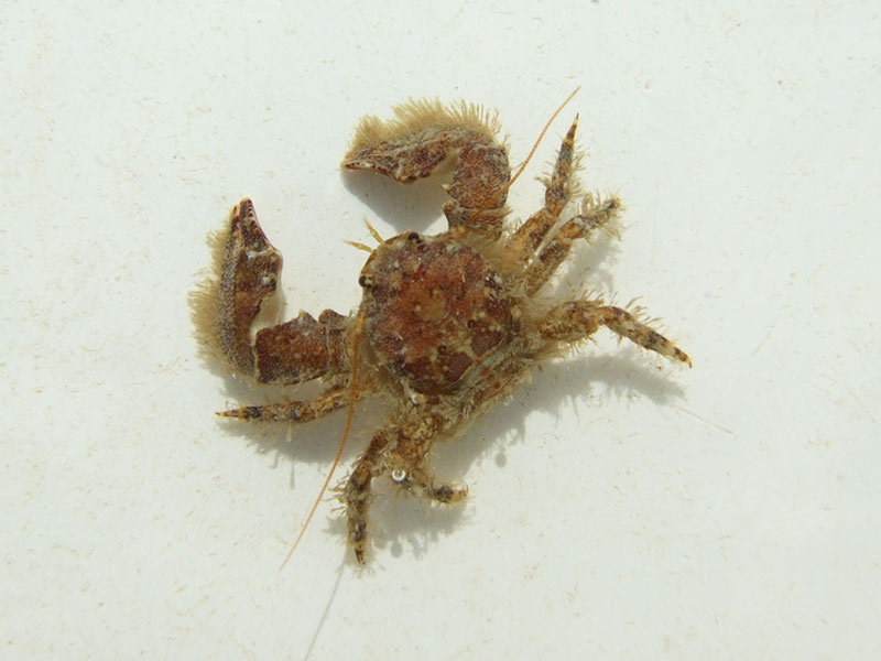 A broad-clawed porcelain crab.